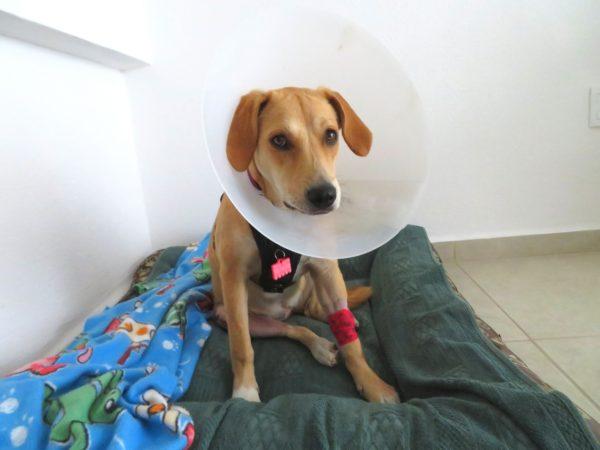 犬 膝 脱臼 手術