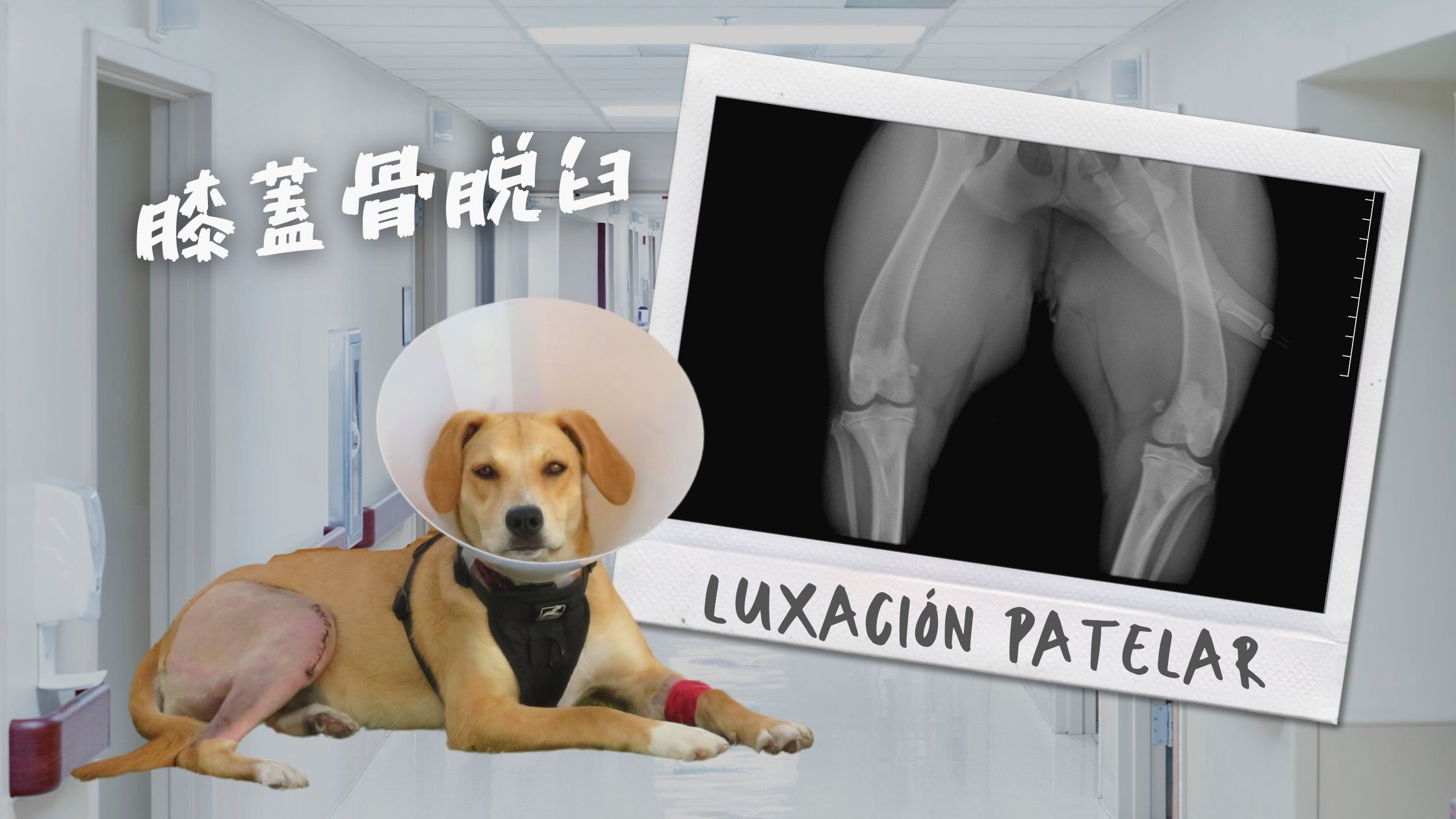 dislocation-dog