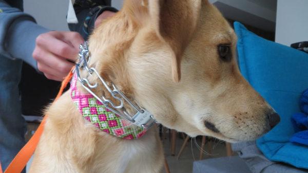 ハームスプレンガー トレーニング用首輪 犬